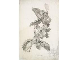 SPAENDONCK, G. van -  Neflier cultivé. Mespilus germanica. L.