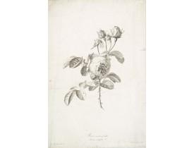 SPAENDONCK, G. van -   Rose à cent feuilles - Rosa contifolia L.