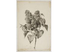 SPAENDONCK, G. van -  Lilas - Syringa vulgaris L.