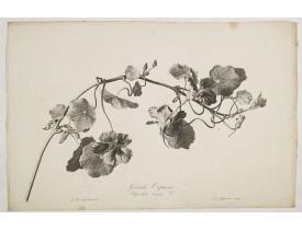 SPAENDONCK, G. van -  Grande Capucine. Tropaeolum majus. L.