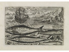 COLLAERT, A. (after). -  Alosa, Acipenser, Manula, Apua cobitis,  (Piscium Vivæ Icones - Fish).